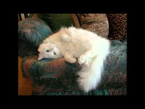 forro do gatinho angora