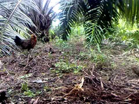 Ayam Hutan Pikat Betina 7 video