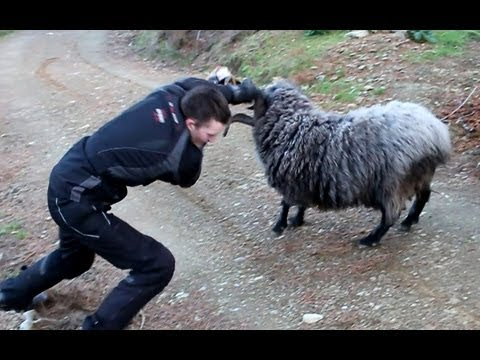 NEW FOOTAGE - Angry ram finds 2 more victims.