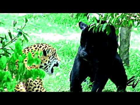 Jaguars Fight [HD]