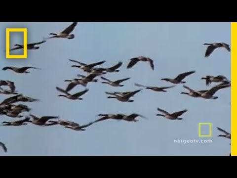 Geese Fly Together | National Geographic