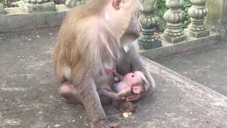 Amazing Newborn Baby Pigtail Monkey Was Born Today Try To Make Conversation With Mom / PTM 401