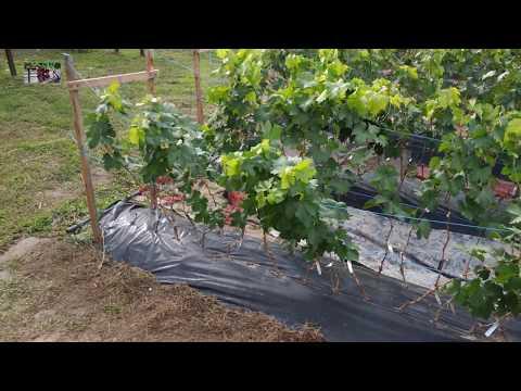 Виноград в сентябре 2018