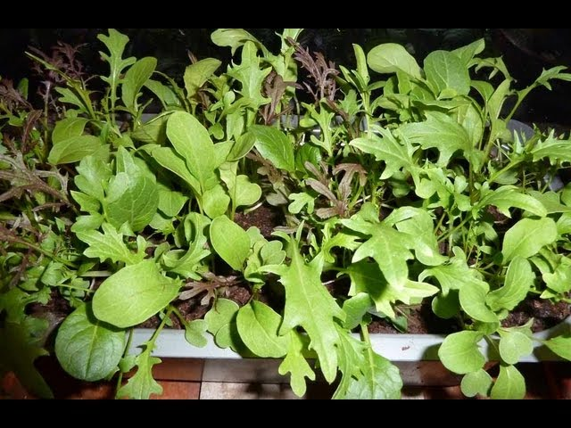 Allotment Diary : How to grow a small indoor salad leaves Crop in just 25 days ?