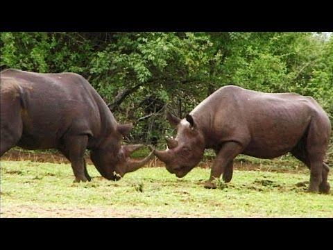 Rare Black Rhino's Bloody Fight.