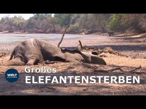 DÜRRE-DRAMA: Hunderte Elefanten verenden jämmerlich