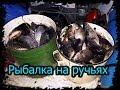 Рыбалка на ручьях ( промысел ) заготовка рыбы. Зелёным не смотреть.