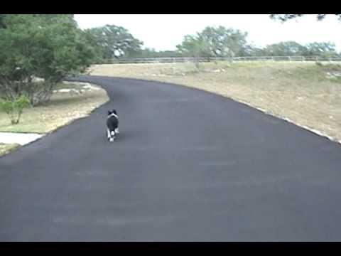 Intelligent Border Collie Puppy