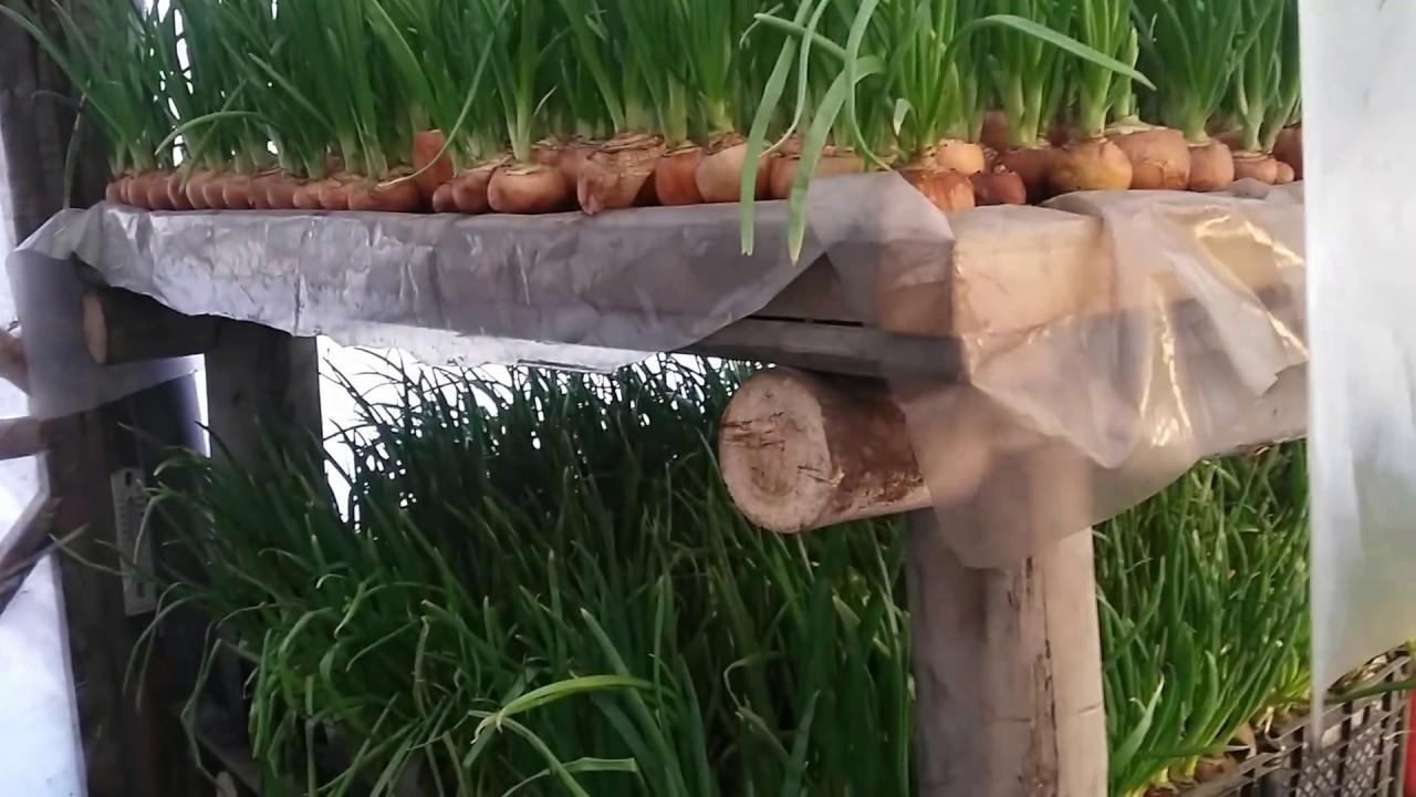 Выращивание лука на перо в домашних условиях зимой на продажу 79