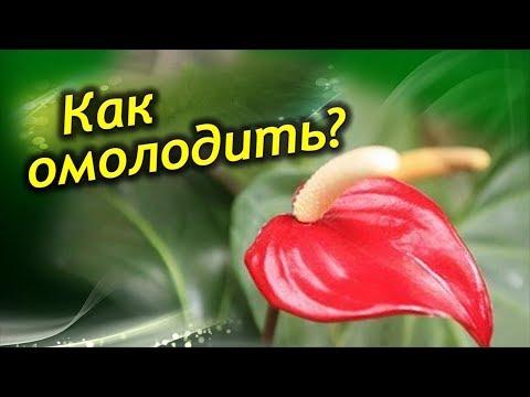 Антуриум! Как омолодить растение!