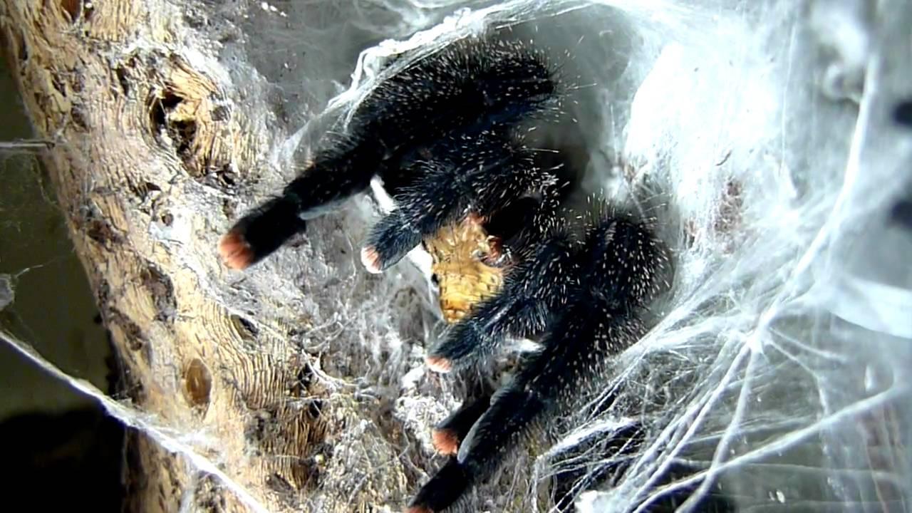 Pink Toe Tarantula Web Feeding Pink-toe Tarantula