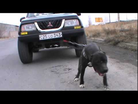 Armenian pit-bull GROM HD video