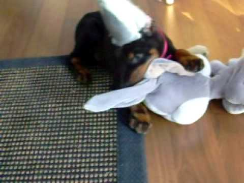 Baby Doberman Kills Bugs Bunny ): Video