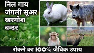 निल गाय(रोजड़ा),जंगली सुअर, खरगोश,बन्दर को खेत से भागने का जैविक उपाय।