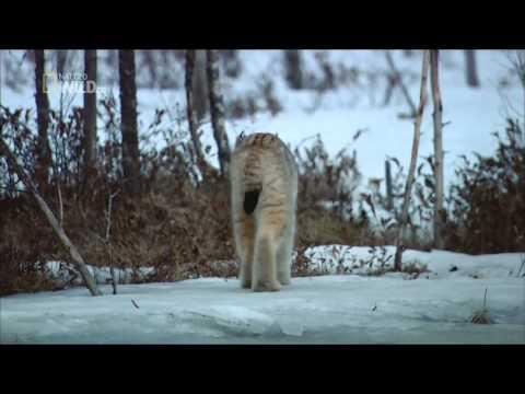 Дикие животные Севера - Мастера выживания
