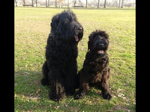 Black Russian Terrier BRT playing together in Marine Park Brooklyn NY