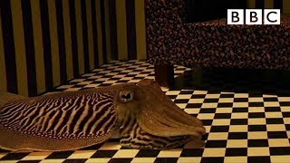 Can Cuttlefish camouflage in a living room? - Richard Hammond