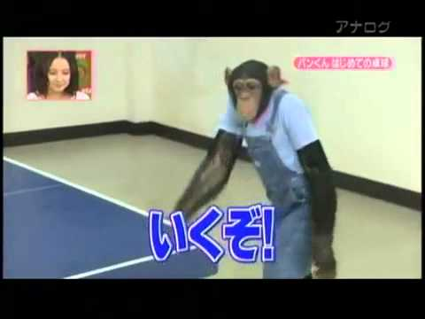 Chimpancé juega al ping pong