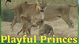 Little lions | cute lion cubs | cutest baby lions | Gir forest | forest habitat |tourist place Gir