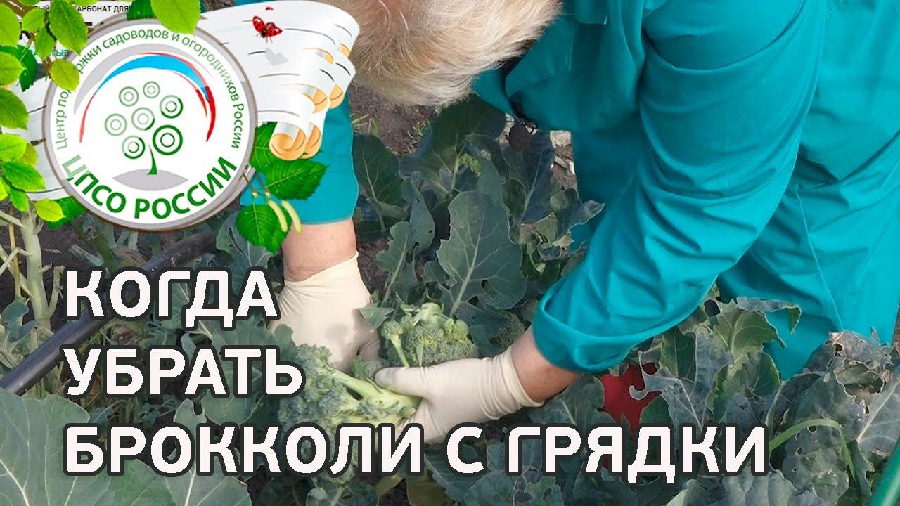 Капуста брокколи особенности выращивания 27