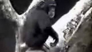 Curious Chimp smells butt and faints