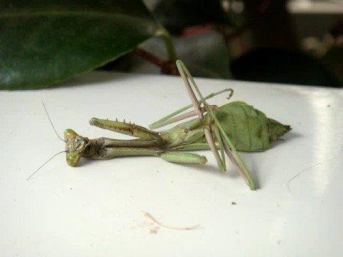 快��死掉的螳螂 2
