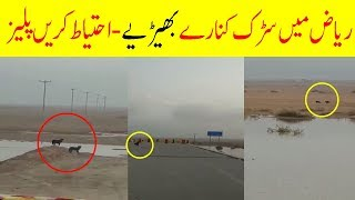 Wolves In Riyadh Saudi Arabia | Latest Saudi News Urdu Hindi Today With Arab Urdu News