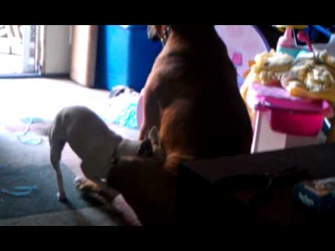 Hilarious little girl dog having way w/big boy dog