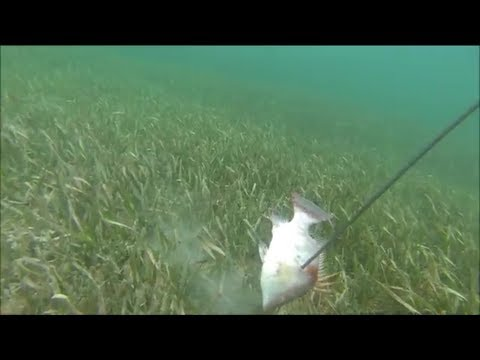 Spearfishing Hogfish