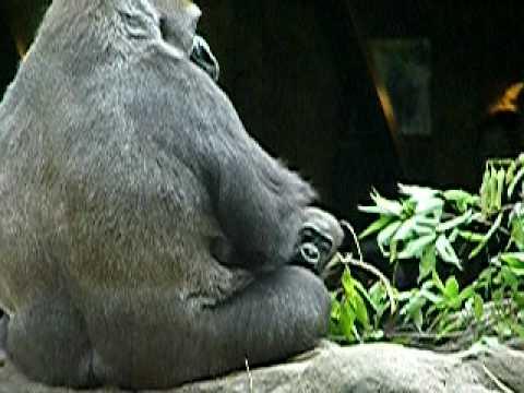 上野動物園のニシローランドゴリラの親子、モモコとコモモ-018