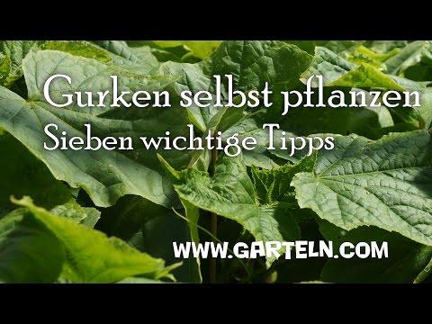 Gurken pflanzen - 7 Tipps von der Aussaat bis zur Fruchtfolge