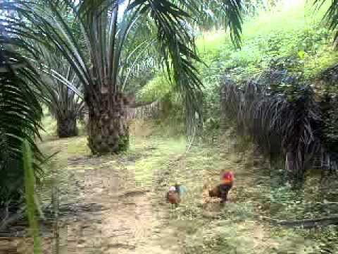 Pikat ayam hutan G1