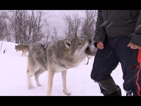 Terrifying Wolf Bites Steve - Deadly 60 - Series 2 - BBC