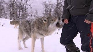 Terrifying Wolf Bites Steve   Deadly 60   Series 2   BBC