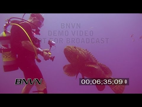 7/20/2007 Stock footage at the Bat Cave of a Goliath Grouper Encounter