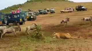 watalii wavamiwa na wanyama mbuga ya serengeti