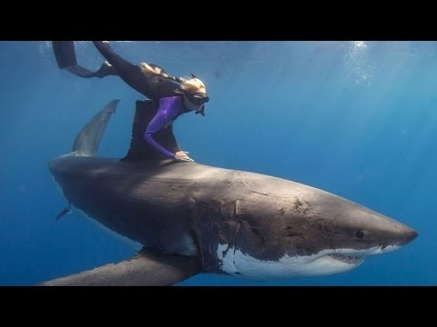 INCREDIBLE PEOPLE! Swimming with GREAT WHITE SHARKS!