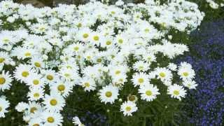 Proven Winners® Gardener Channel: Proven Winners® Daisy May® Leucanthemum