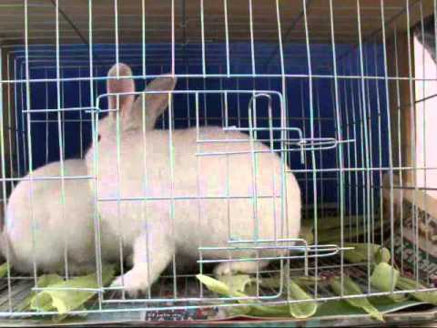 Conejos apareandose o cruzandose