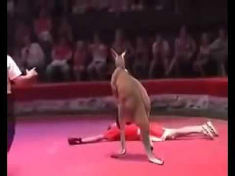 Kanguru ile Box