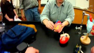 Heart Model review for A&P 2 Lab practical