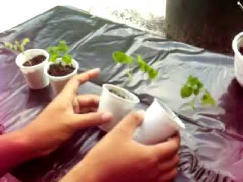 Growing Startfruit (Carambola) from seeds. Part 1.