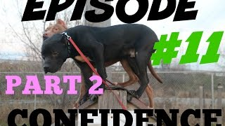 building dogs confidence part 2 pitbull pit bull muscle bully training obedience