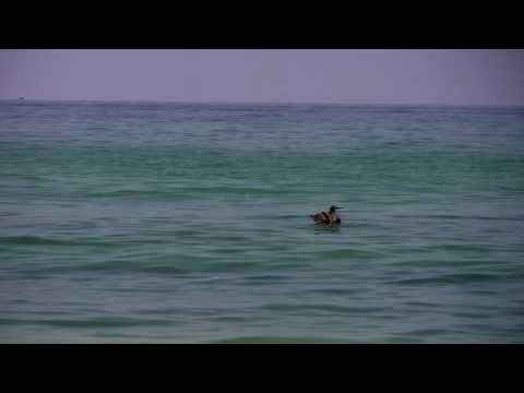 Bird From BP Oil Spill
