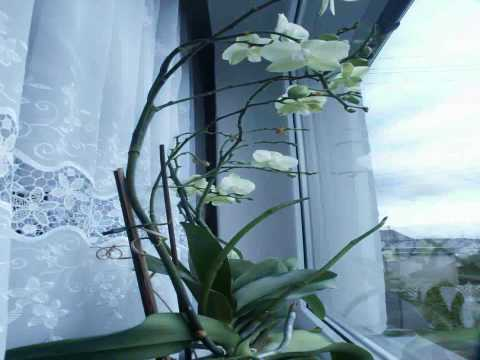 Orchid Growing Timelapse