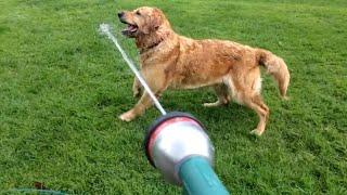 Thirsty Dog Loves Garden Hose