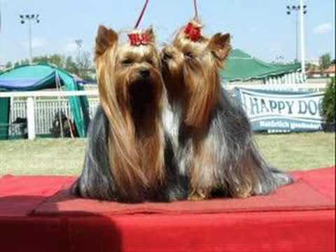 Yorkshire terrier - Gerard of Joranza :-)