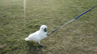 Cockatoo on Leash