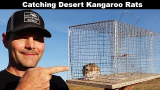 Catching Desert Kangaroo Rats With A Swedish Humane Trap. Mousetrap Monday