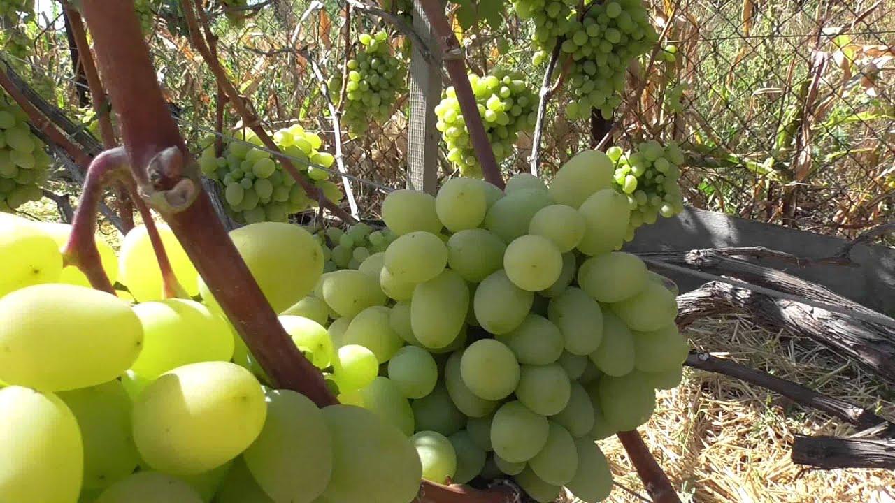 Уход за виноградом подарок запорожья 69